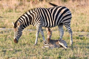 Mother and child zebra