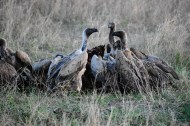Vultures - cape buffalo