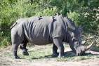 Rhino covered in oxpeckers