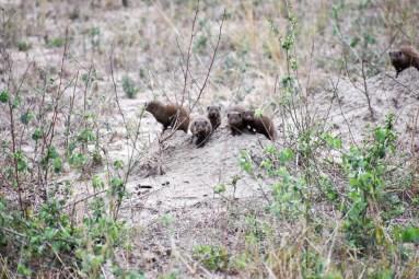 Mongoose family