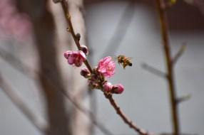 Peach blossom harvest