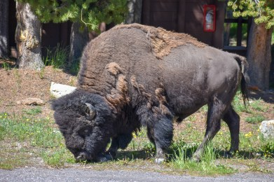 Bison out the front door