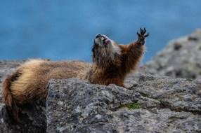 Yellow-bellied marmot yawn