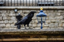 Raven at Tower of London