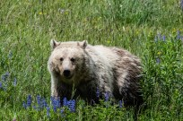 Grizzly bear near Steamboat Point, Yellowstone
