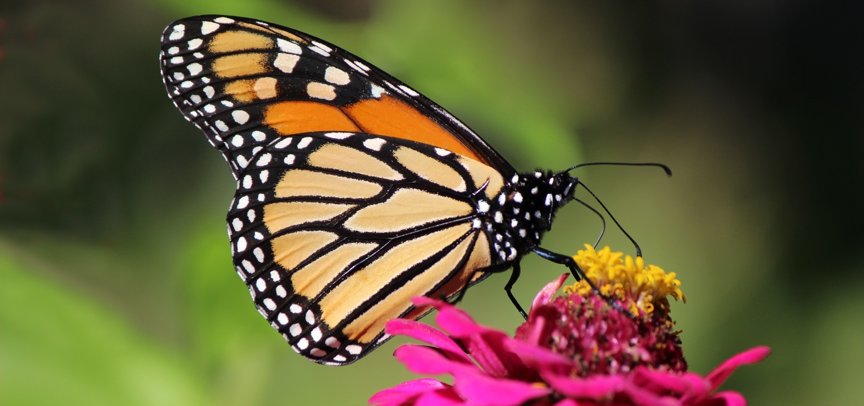 Update - The Monarch Butterfly: An Icon Endangered - HillNotes