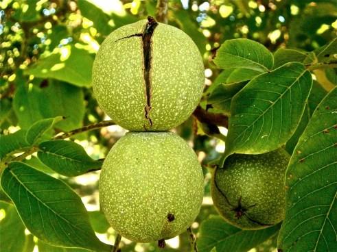 how to use walnut wood walnut tree flooring fences furniture