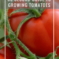 30 Second Guide to Growing Tomatoes