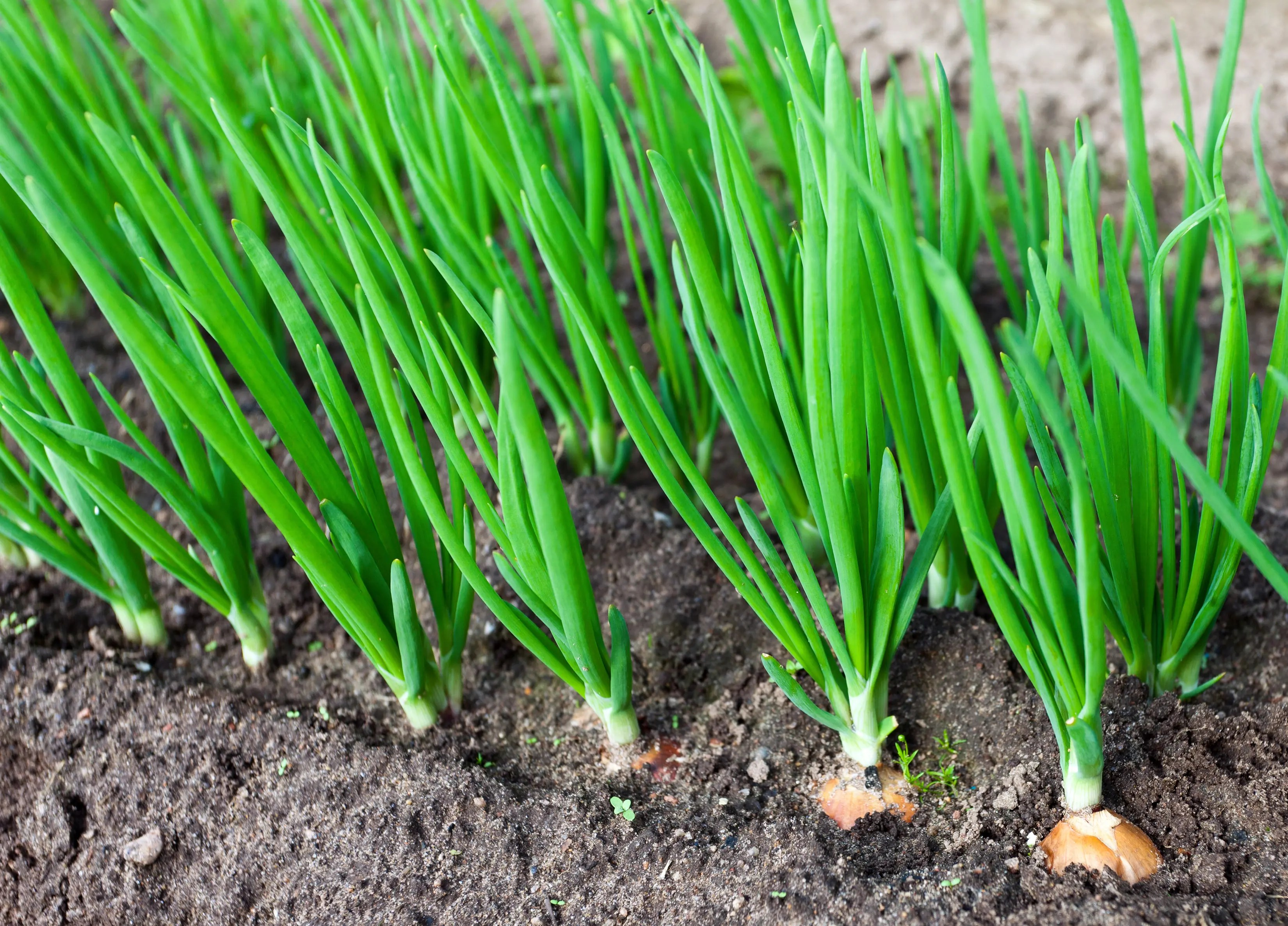 30 Second Guide to Growing Onions