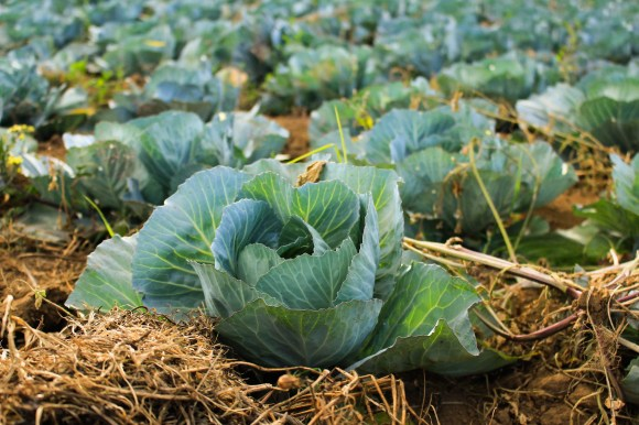 how to grow cabbage plant seed