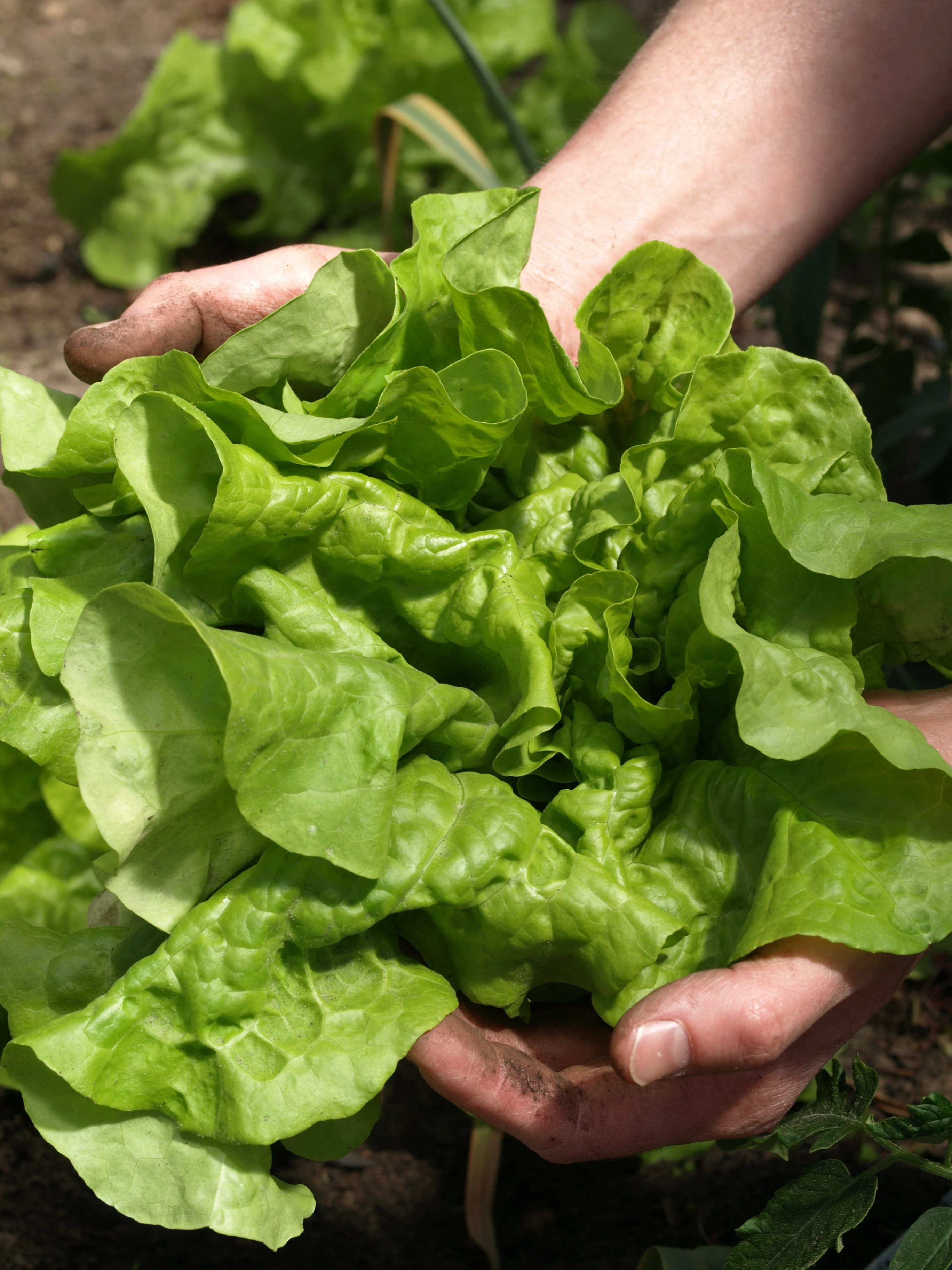 30 Second Guide to Growing Lettuce