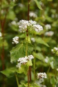 how to use buckwheat in companion planting guide plans vegetables