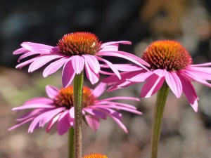 how to use echinacea companion planting garden vegetable
