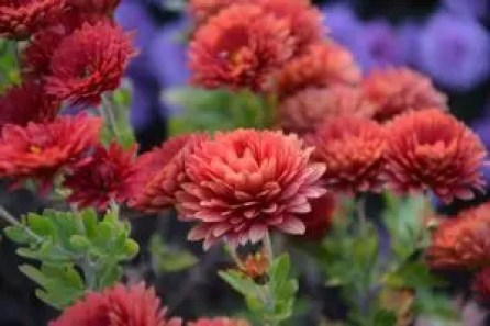 how to use crystanthalum in companion planting guide plans