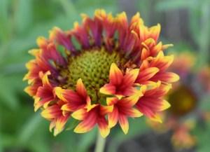 how to use gaillardia companion planting garden vegetable