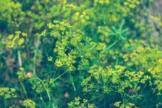 how to use dill companion planting garden vegetables