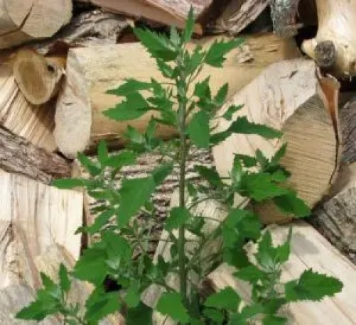 how to use lambs quarters companion planting plants garden vegetables guide plan
