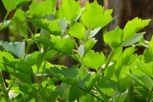 how to use lovage companion planting garden vegetable