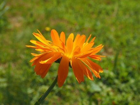 how to use calendula companion planting marigold guide plans vegetables