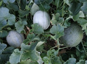 melons in companion planting nutrients vegetable garden