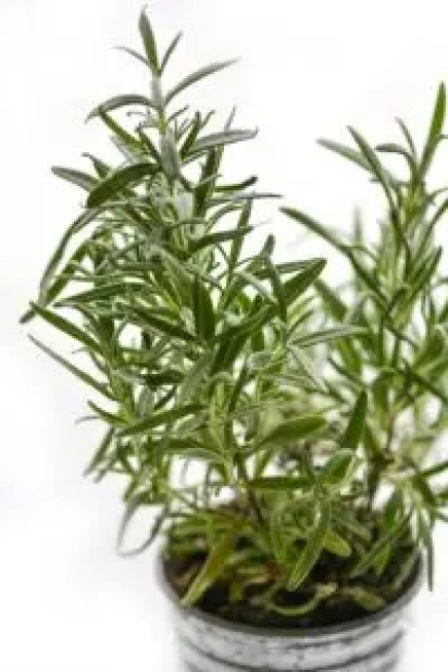how to use rosemary in companion planting plants garden vegetable
