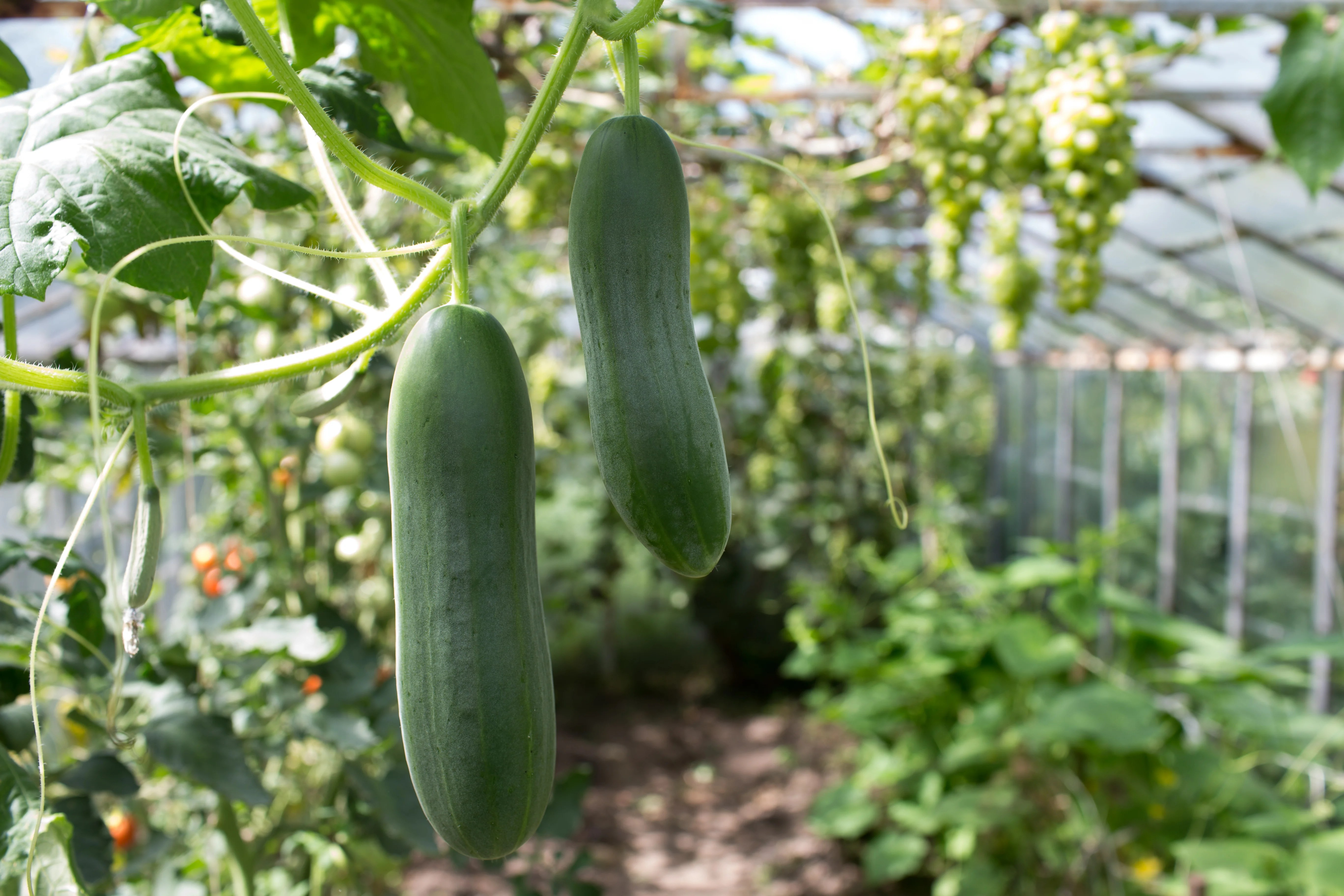 30 Second Guide to Growing Cucumbers