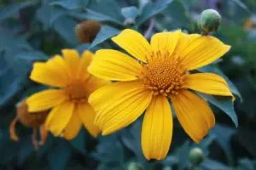 how to use tithonia in companion planting plant guide