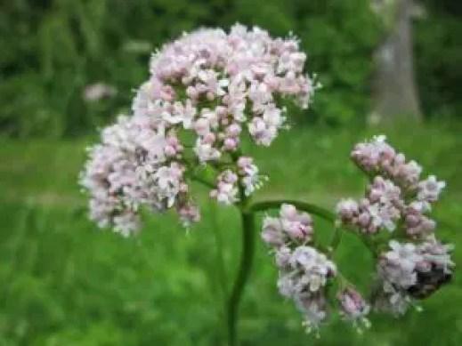 valeriana-officinalis-in companion planting
