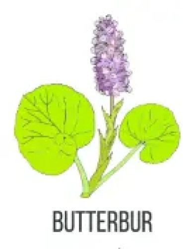 Butterbur To Treat Allergies