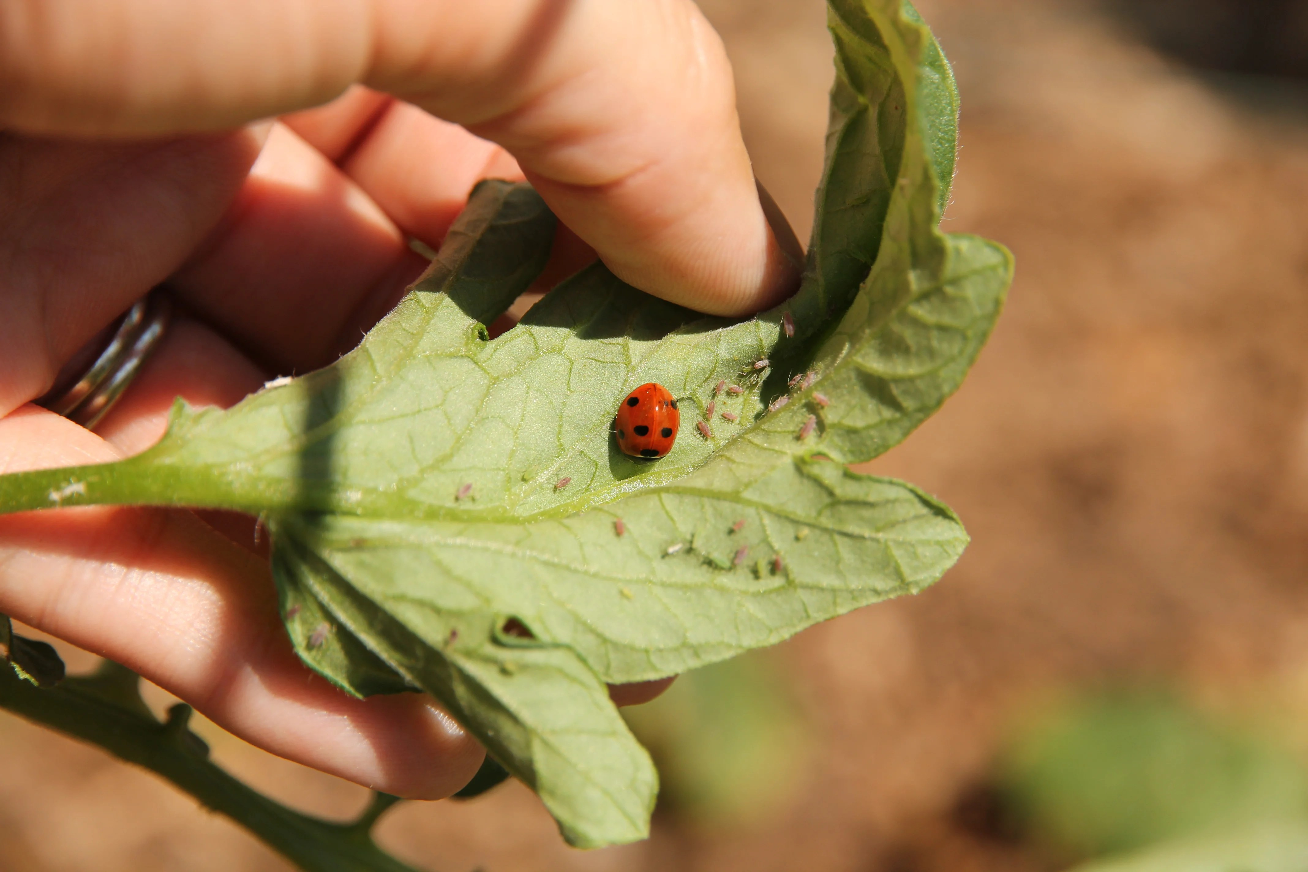 9 Natural Ways to Get Rid of Aphids