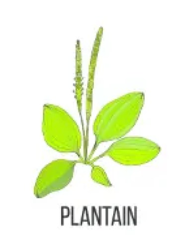 Plantain To Treat Allergies