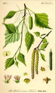 how to use birch tress medicinally