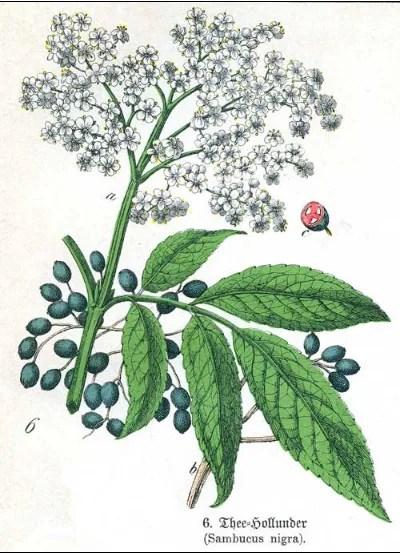 how to use elder tree medicinally