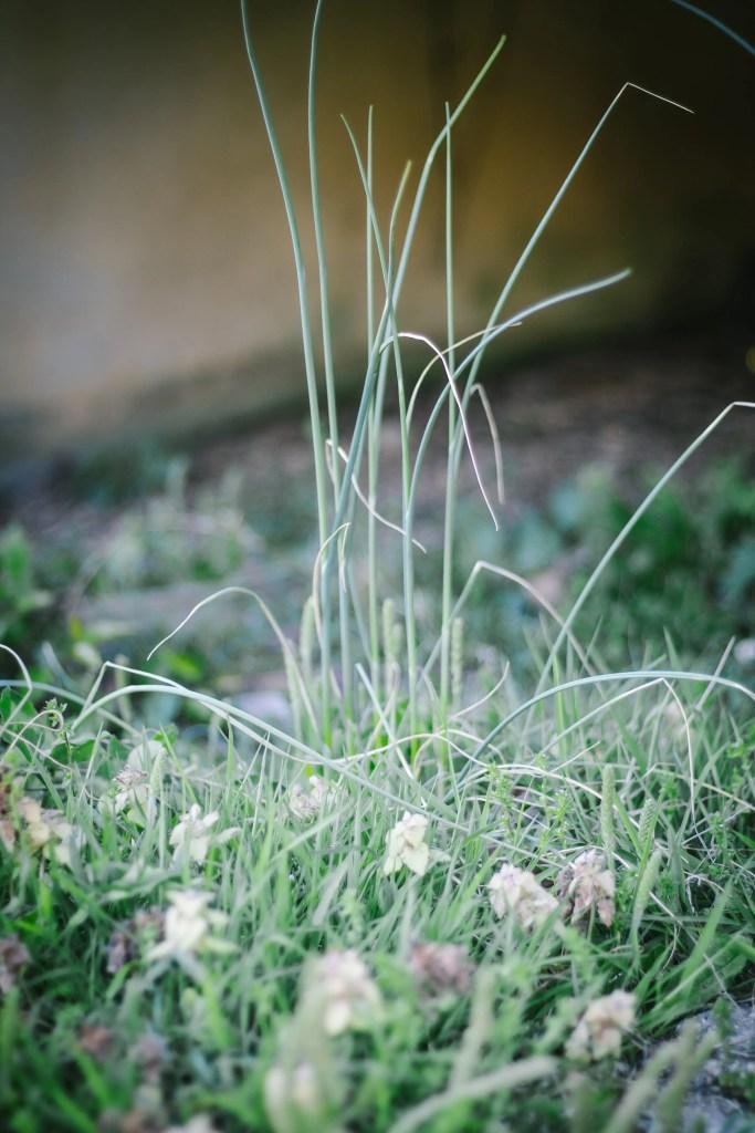 wild garlic, field garlic or crows garlic - wild edible