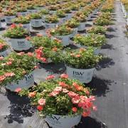 Hillside Ornamentals Roses Mango Salsa
