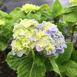 Niko blue hydrangea