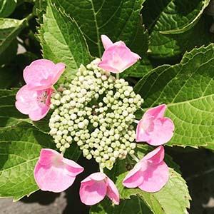 Starlight lace cap hydrangea's