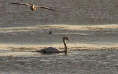 White pelican photobombs swan
