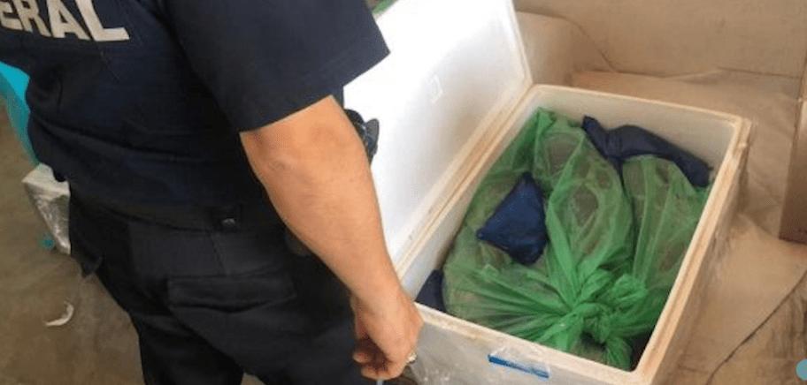 Incautan en aeropuerto de Chihuahua 28 kilos de totoaba en hielera