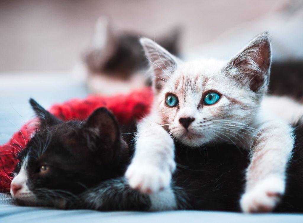 白い猫と黒い猫が横たわっている画像