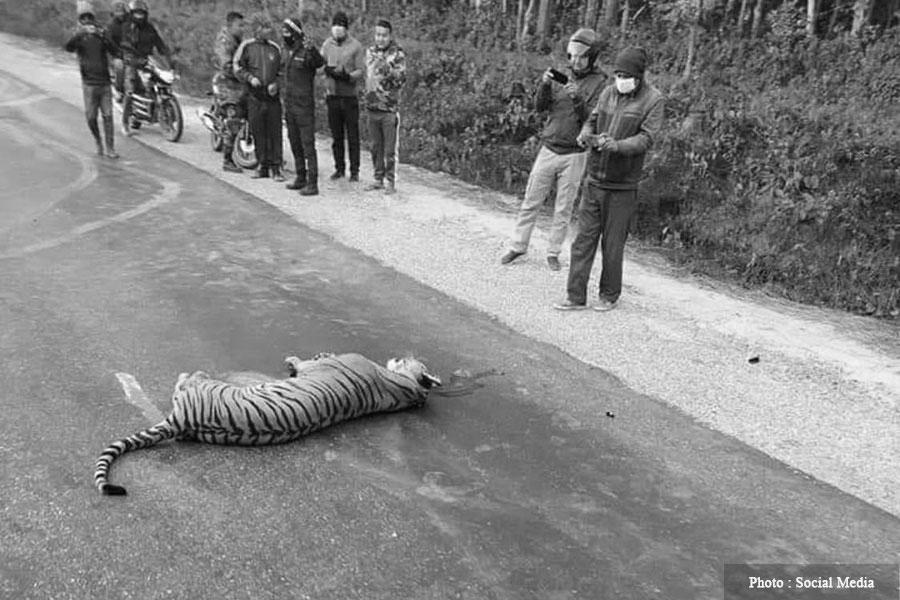 बारामा कारको ठक्करबाट बाघको मृत्यु