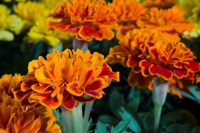 Бархатцы прямостоячие можно использовать в качестве натурального гербицида