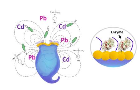 Схематическое изображение модифицированного лизоцимом антибактериального средства на основе коловратки.