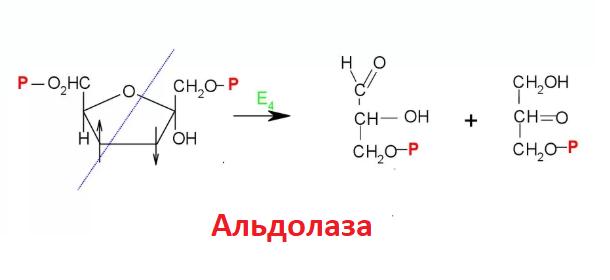 альдолазы ферменты