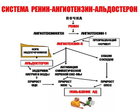 Ангиотензин роль в организме