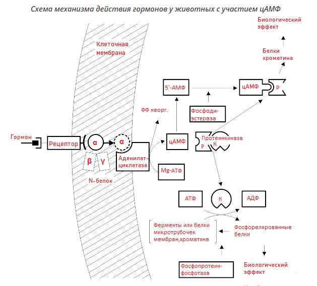 механизм действия гормонов у животных с участием АМФ