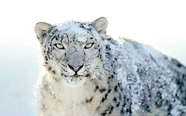 snow-leopard-manali-wildlife-sanctuary