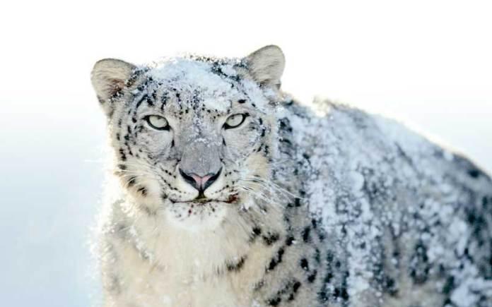 snow-leopard-manali-wildlife-sanctuary