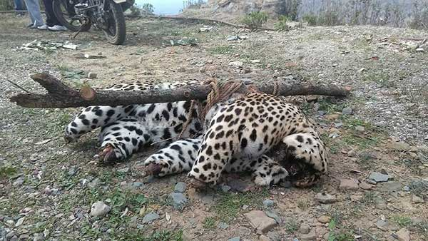 Dead body of leopard, found in Ladbharol tehsil of Mandi district earlier this year in March.