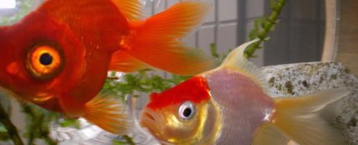 3月3日:金魚の日